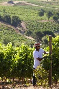 Casardeburbia vines